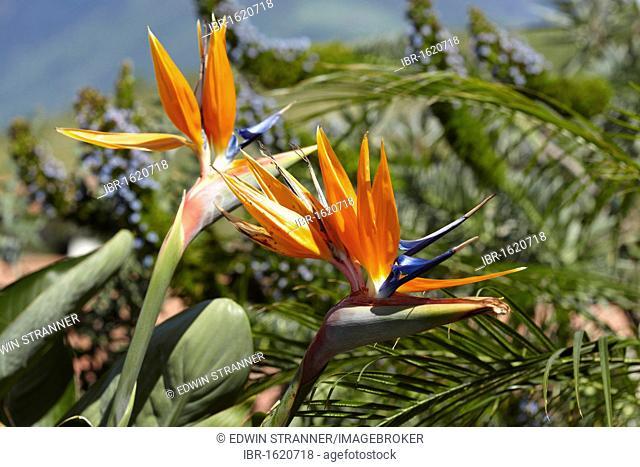 Strelitzia, Crane Flower or Bird of Paradise (Strelitzia reginae)