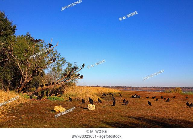 American black vulture (Coragyps atratus), large group sitting on the ground and on a tree, warming up in the morning, USA, Florida, Myakka River State Park
