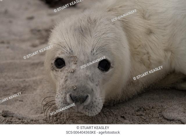 Grey Seal Halichoerus grypus in the Monach Islands, Outer Hebrides, UK