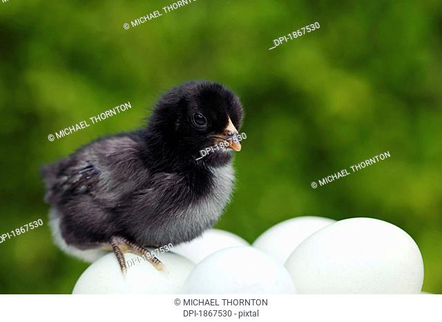 Five day old Araucana chick on unhatched eggs