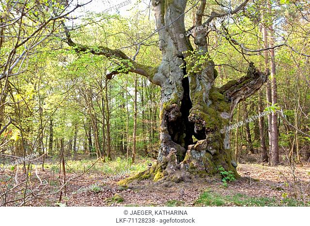 Very old hollowed out common beech tree (Fagus sylvatica) used to feed livestock in Hutewald Halloh wood pasture forest, Albertshausen, Hesse, Germany, Europe
