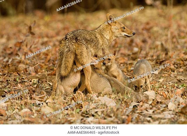 Himalayan Jackal (Canis aureus indicus) mother feeding pups, six pups, nursing, Pench National Park, Madhya Pradesh, India