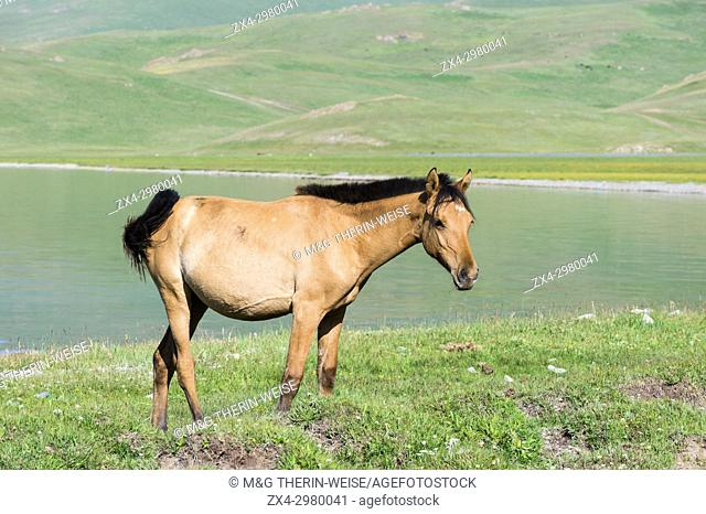 Horses walking along the lakeshore, Song Kol Lake, Naryn province, Kyrgyzstan, Central Asia