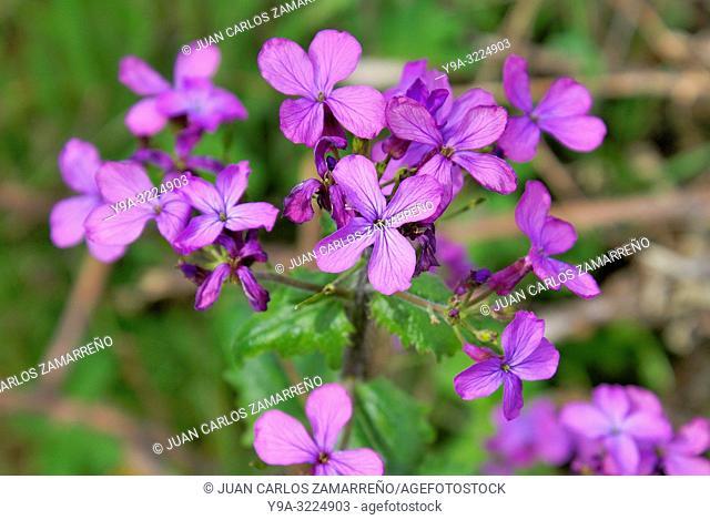 Lunaria annua,honesty,annual,honesty,flowers,Brassicales,Brassicaceae,Mogarraz,Sierra de Francia,Salamanca,Castilla y Leon,Spain