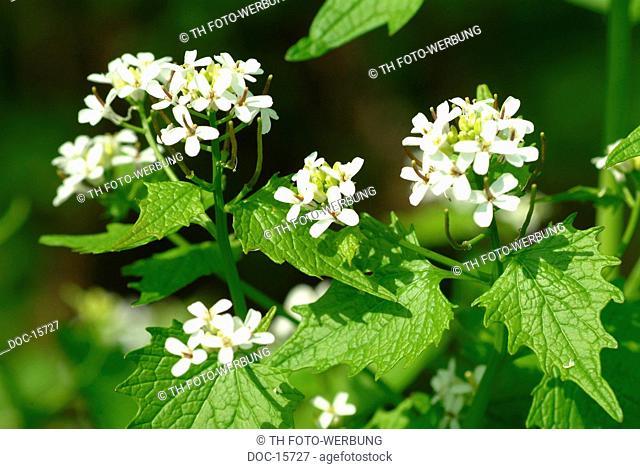 Garlic mustard - herb - medicinal plant - spice - Allaria officinalis - Alliaria comune