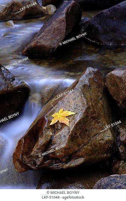 Autumn Leaf on a Rock at Merced River, Yosemite National Park, California, USA