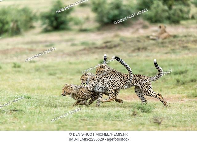 Kenya, Masai Mara game reserve, cheetah (Acinonyx jubatus), cubs 7/8 months old playing