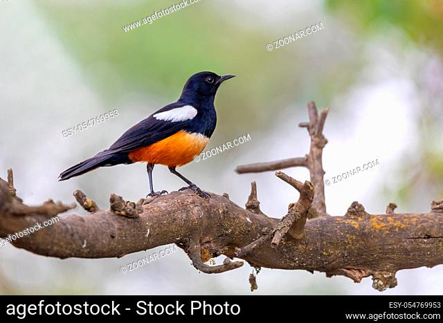Mocking Cliff Chat on Wooden Log. Mocking cliff chat, Thamnolaea cinnamomeiventrid, is perching on stone in Gondar, Ethiopia, Africa wildlife