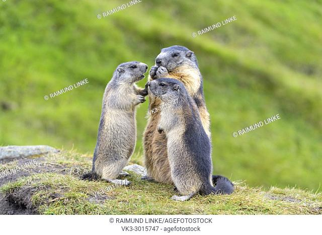 Alpine Marmot, Marmota marmota, adult with two youngs, Hohe Tauern National park, Austria