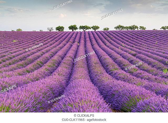 Lavender raws and trees, Plateau de Valensole, Alpes-de-Haute Provence, Provence, France, Europe
