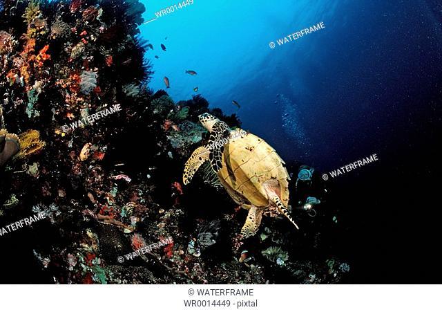 Hawksbill turtle and scuba diver, Eretmochelys imbricata, Komodo, Indio-Pacific, Indonesia
