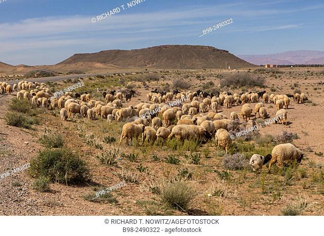 Herd of sheep on the roadside in the Atlas Mountains