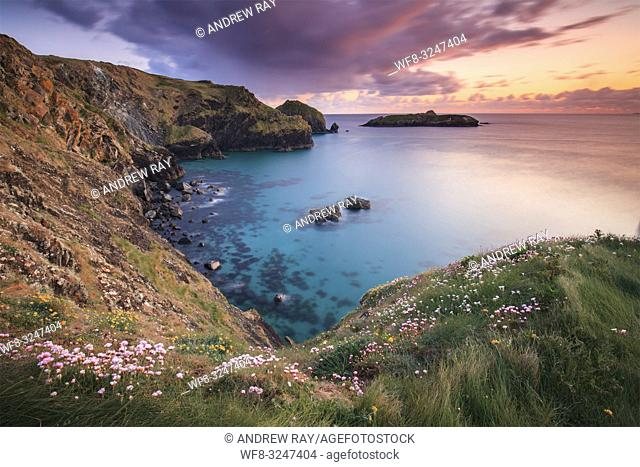 Sea thrift on the cliff top above Mullion Cove on Cornwall's Lizard Peninsula, captured at sunset in late April with Mullion Island in the distance