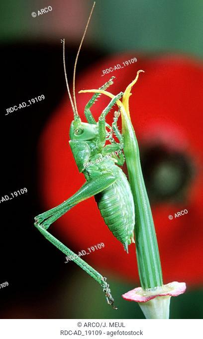 Speckled Bush-cricket Belgium Leptophyes punctatissima side