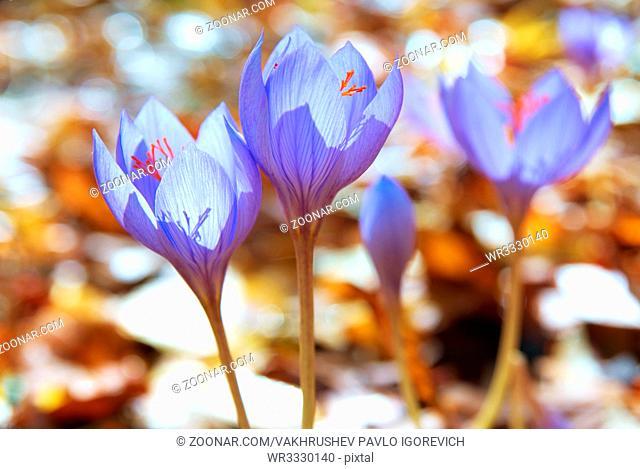 Blue flower crocus ligusticus (saffron) in the forest