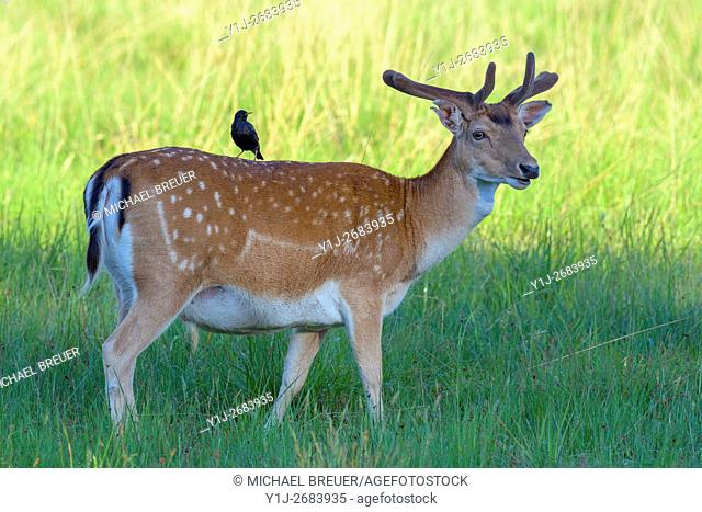 Fallow Deer (Cervus dama) with Starling on his Back, Hesse, Germany, Europe
