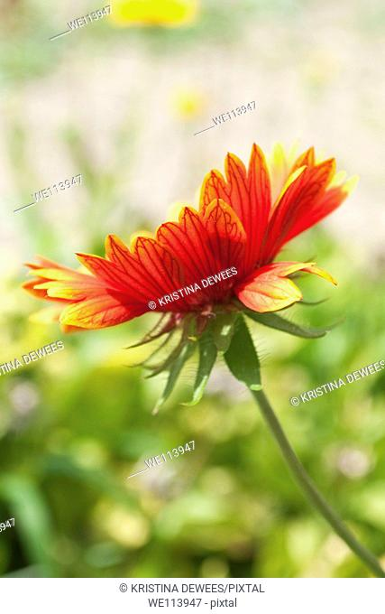 An underview of a red Gaillardia flower