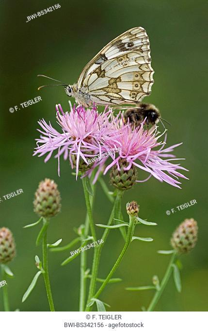 marbled white (Melanargia galathea), sitting on a knapweed together with e hu, ble bee, Germany
