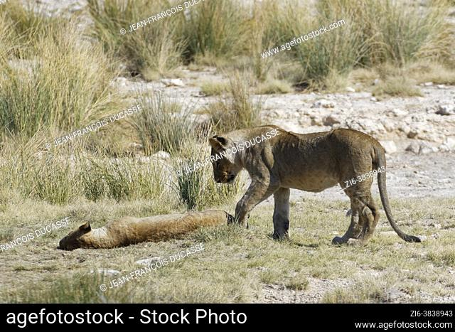 African lions (Panthera leo), young male standing next to a young lying female half asleep at the waterhole, Etosha National Park, Namibia, Africa