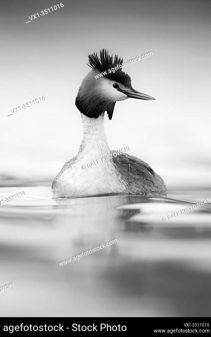 Great Crested Grebe / Haubentaucher ( Podiceps cristatus ) swimming on calm water, looks around attentively, monochrome converted