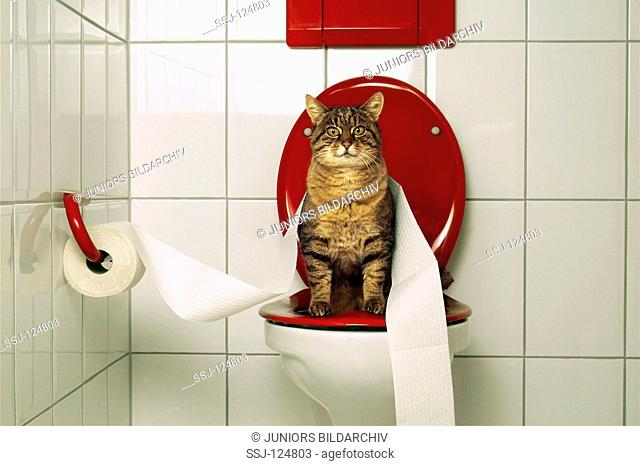 domestic cat on toilet