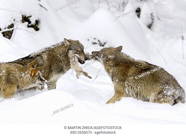 Gray Wolf (Canis lupus) during winter in National Park Bavarian Forest (Bayerischer Wald). Europe, Central Europe, Germany, Bavaria, January