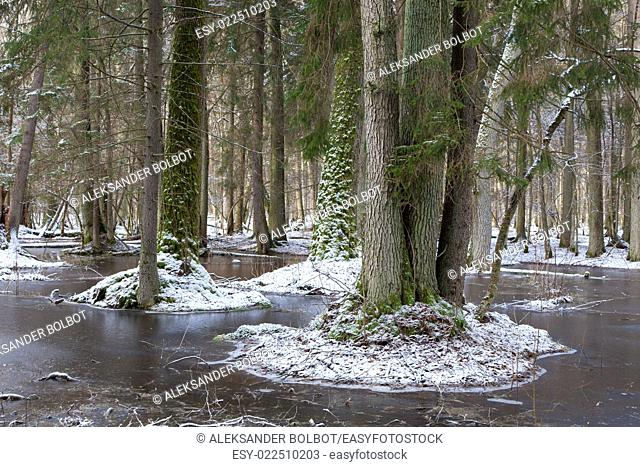 Winter landscape of first snow in old forest and frozen water with broken tree in foreground, Bialowieza Forest, Poland, Europe