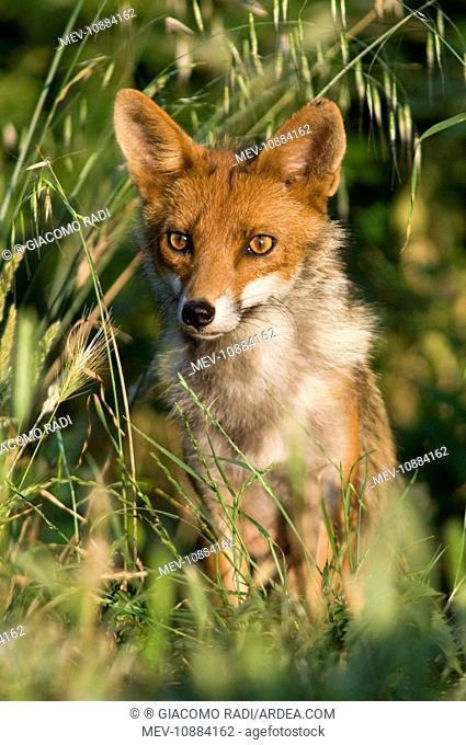 Red Fox (Vulpes vulpes). Italy