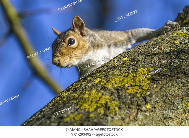 Grey Squirrel scanning from a tree top. London, England