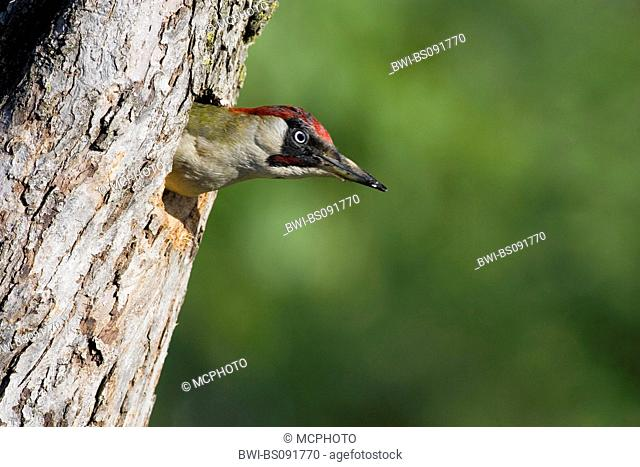 green woodpecker (Picus viridis), looking out of tree hole, Austria