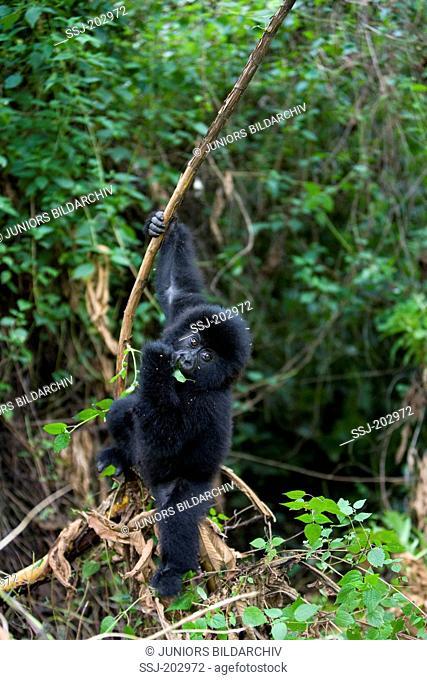 Mountain Gorilla (Gorilla beringei beringei). Juvenile eating a twig. Volcanoes National Park, Rwanda