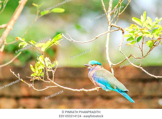 Indian Roller (Coracias benghalensis) on the branch. They are found widely across tropical Asia