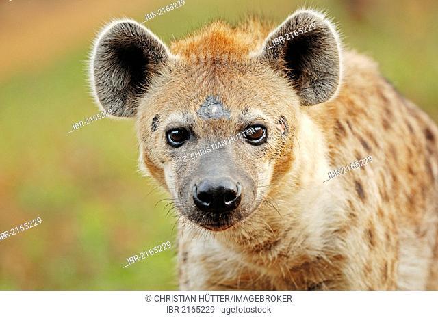 Spotted Hyaena or Laughing Hyena (Crocuta crocuta), native of Africa, in captivity, Czech Republic, Europe