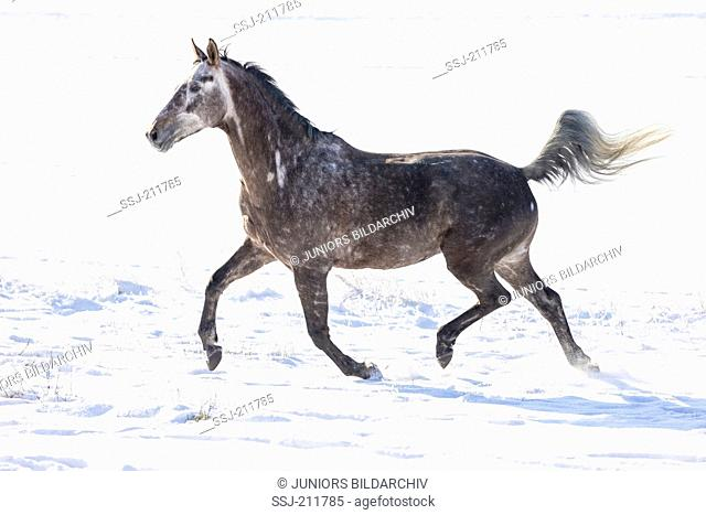 Trakehner. Juvenile gray gelding trotting on a snowy pasture. Germany