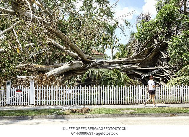 Florida, Fort Ft. Myers, McGregor Boulevard, Edison & Ford Winter Estates, fallen giant Mysore fig Ficus myorensis tree, exposed root system