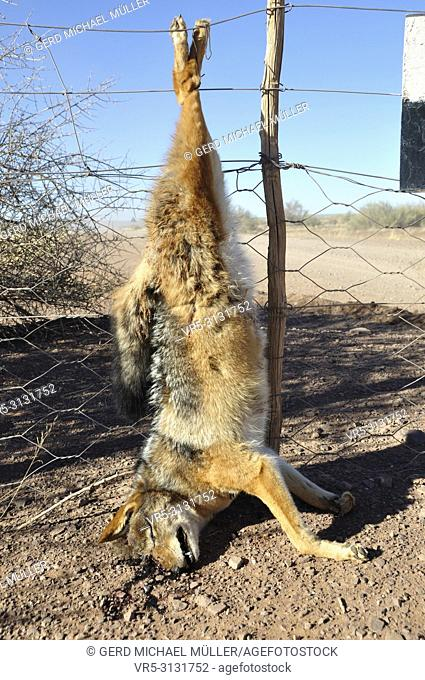 A killed jackal has been hanging up the fence of a farmer as a warning for the others prediators and hunters