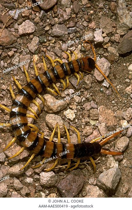 Texas giant centipede Stock Photos and Images | age fotostock