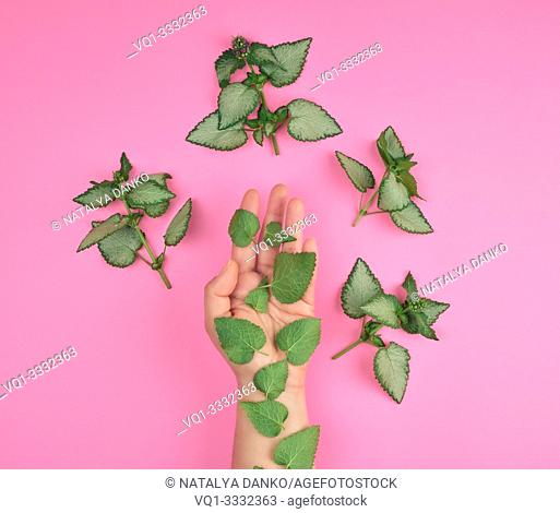 female hand and fresh green leaves of a plant on a pink background, top view. Concept of natural care cosmetics for skin against wrinkles and aging