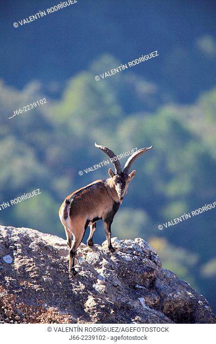 ibex (Capra pyrenaica), male. Natural Park Els Ports, Horta de San Joan. Tarragona