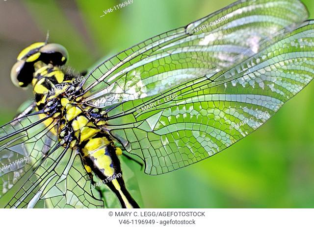Emerging Common Clubtail, Gomphus vulgatissimus clings to marsh grass after emerging  Damaged wing shown in detail  Fluid is not draining well and the tissue of...