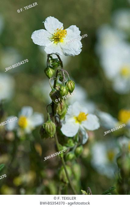white rock-rose (Helianthemum apenninum), blooming