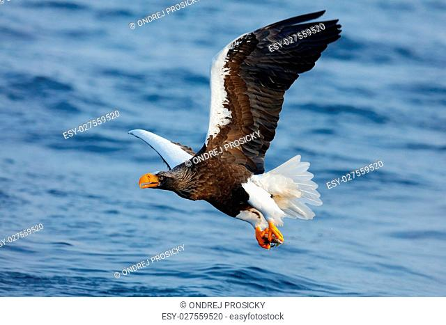 Eagle flying above the sea. Beautiful Steller's sea