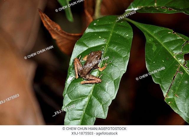 Frog of borneo, gading national park, sarawak, malaysia, borneo
