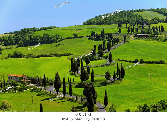 Italian cypress (Cupressus sempervirens), Winding Road lined with Cypress Trees, Val d'Orcia, Italy, Tuscany, Monticchiello