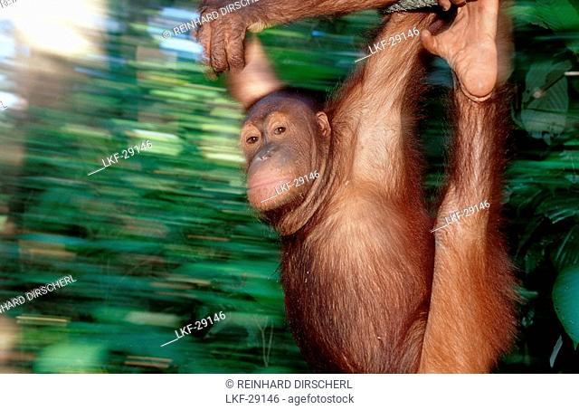 Orang-Utan, Pongo pygmaeus, Malaysia, Borneo, Sabah, Sepilok