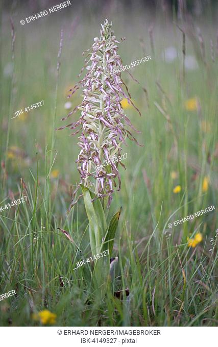 Lizard Orchid (Himantoglossum hircinum), Rothenstein nature reserve, Thuringia, Germany
