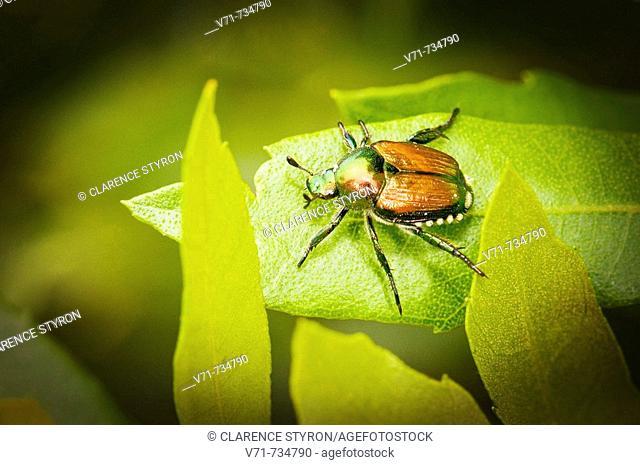 Japanese Beetle, Popilla japonica
