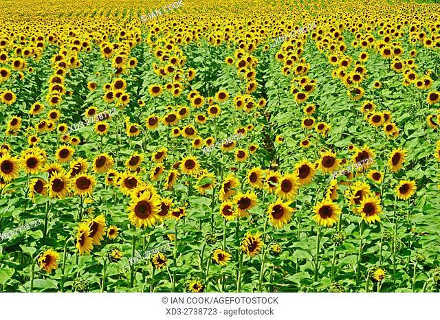 sunflower field, Lot-et-Garonne Department, Aquitaine, France