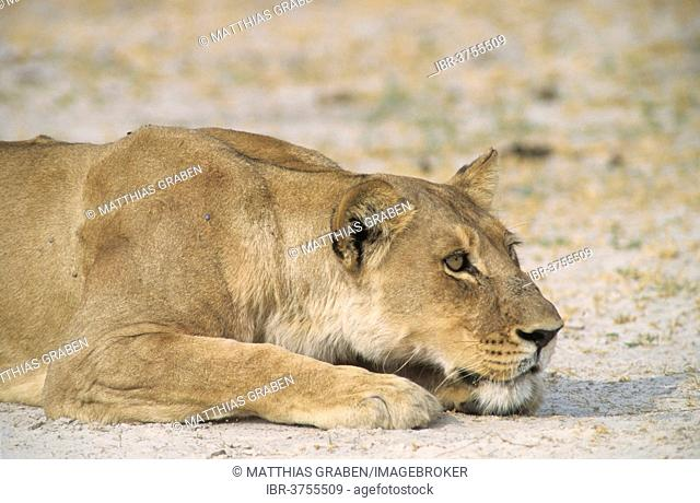 Lion (Panthera leo), Chobe Waterfront, Chobe National Park, North-West District, Botswana
