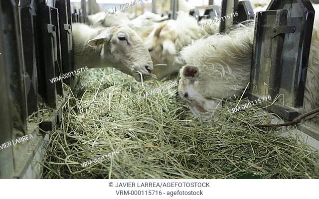 Sheep eating farm, Latxa breed, Gomiztegi Baserria, Arantzazu, Oñati, Gipuzkoa, Basque Country, Spain